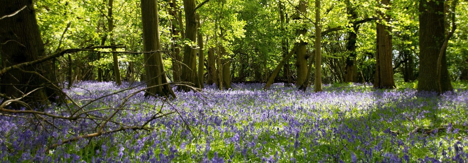 Bluebell Walk – Saturday 1 May
